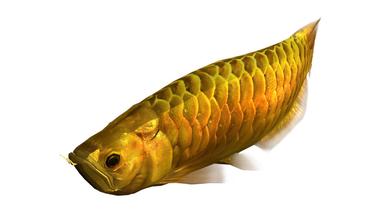 arowana gold 3d model rigged animated