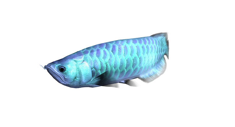 arowana silver 3d model rigged animated