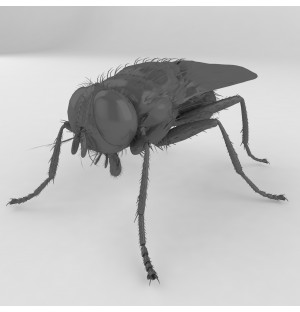 Musca domestica fly insert