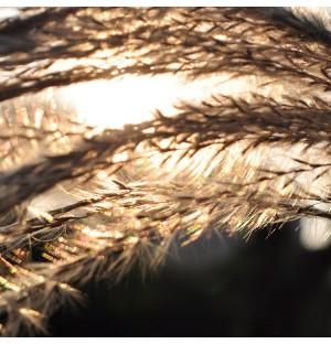 Reed in the Setting Sun Yellow Autumn
