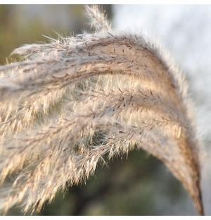 Reeds in Wind
