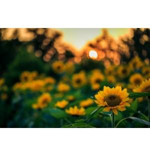 Sunflower Towards The Sun