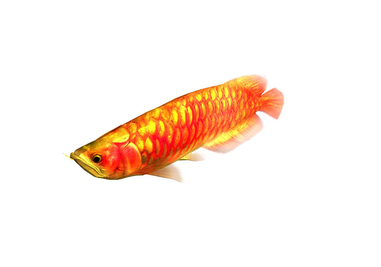 arowana red 3d model rigged animated