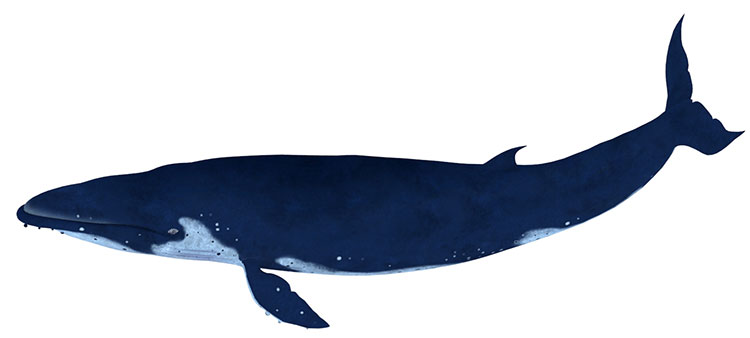 whale 3d model rigged animation textured