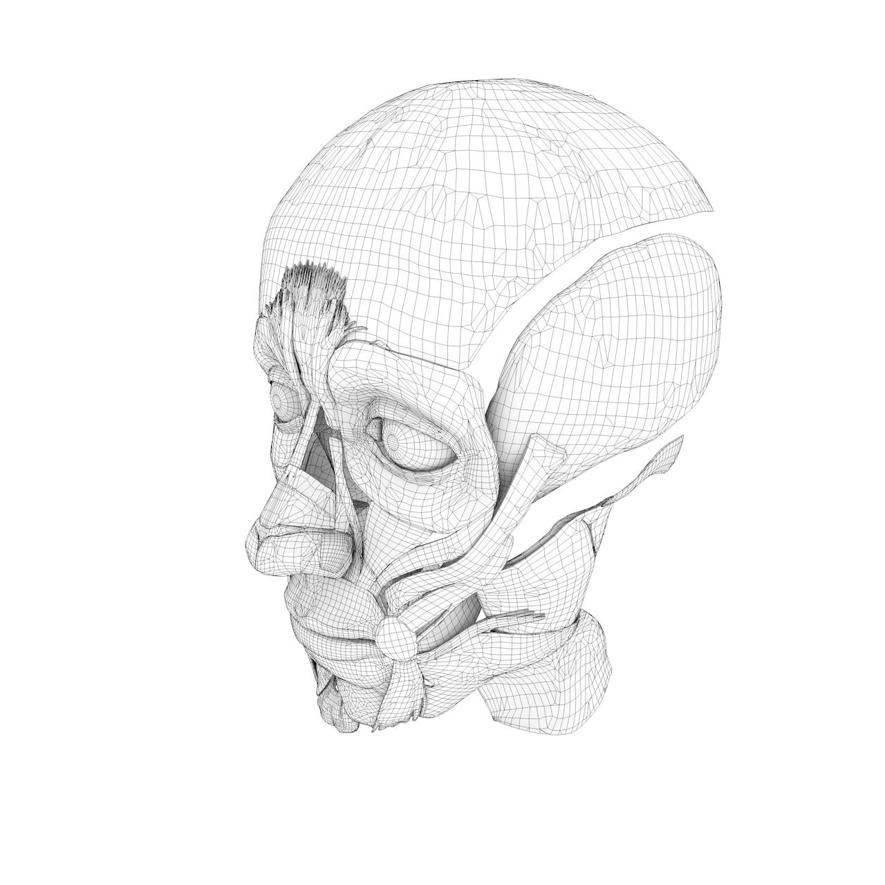 Structure musculaire du visage modèle 3D