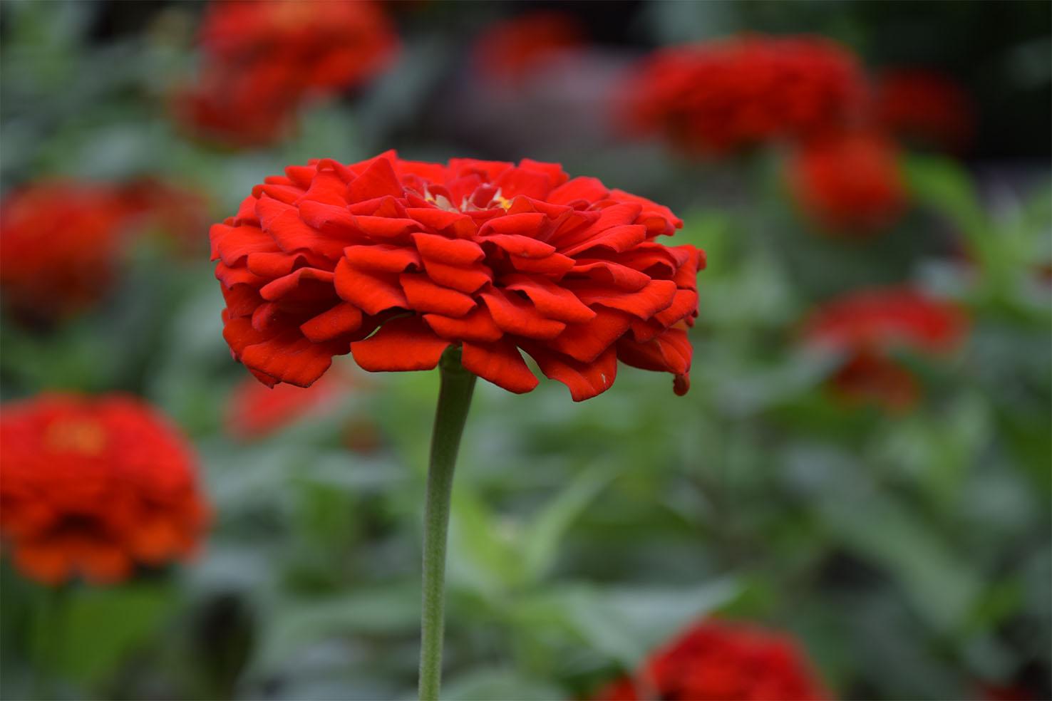 çiçek Açan Kırmızı çiçekler