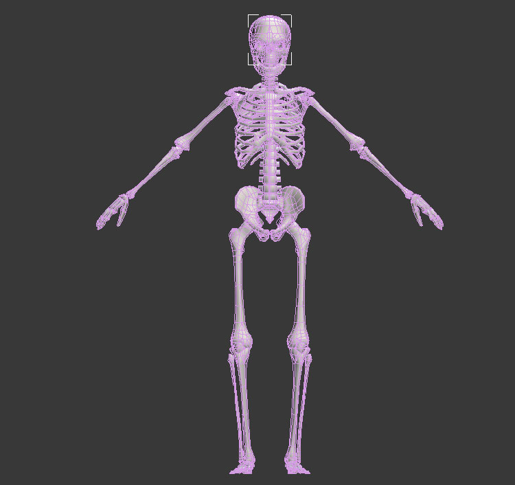 Rigged Anatomy Human Skeleton 3d Model