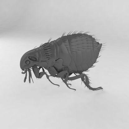 Ctenocephalides felis insect 3d model