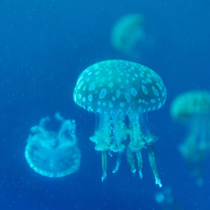 Jellyfish blue sea water