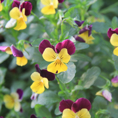 Pansy whole grass leaves small young leaves yellow flower
