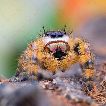 Salticidae jumping spider photography