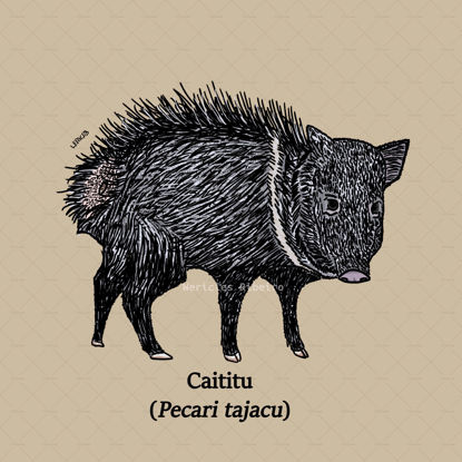 Collared Peccary illustration