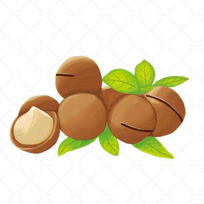 Macadamia nut illustration