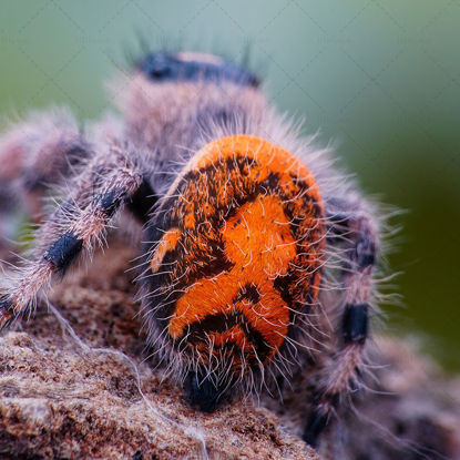 Spider belly insect photo
