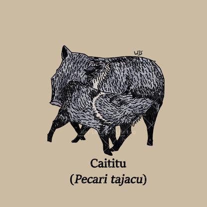 Collared peccary (Pecari tajacu)