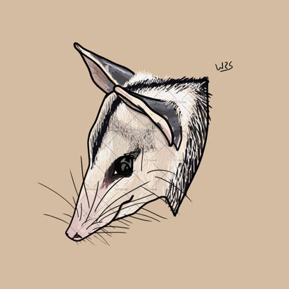 White-eared opossum (Didelphis albiventris)