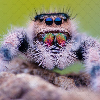 Spider with big tooth and eyes photo