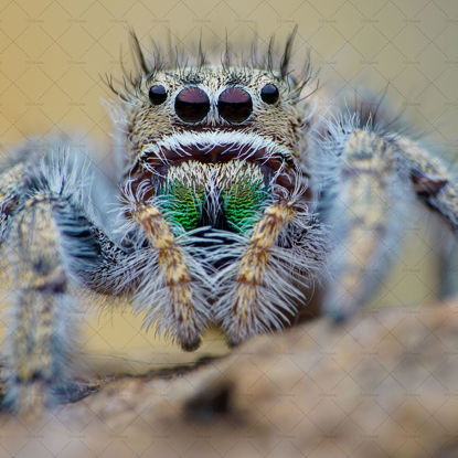 Spider with green big teeth
