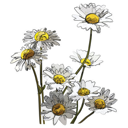 Flowers daisy illustration vector and png