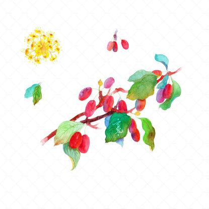 dogwood watercolor illustration