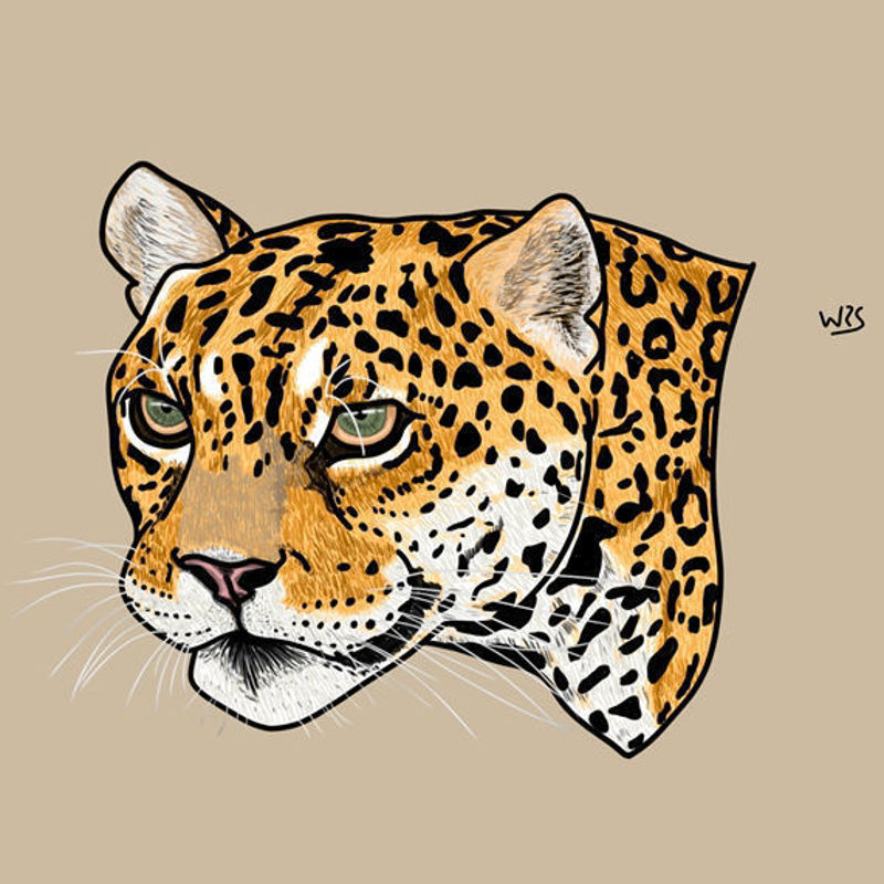 The jaguar (Panthera onca) animal illustration