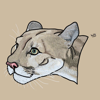 The cougar (Puma concolor) animal illustration