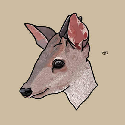 Gray brocket Deer (Mazama gouazoubira) animal illustration