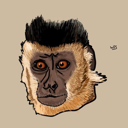 Black-striped capuchin (Sapajus libidinosus) animal illustration