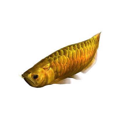 Rigged Animated Arowana Gold 3D Model