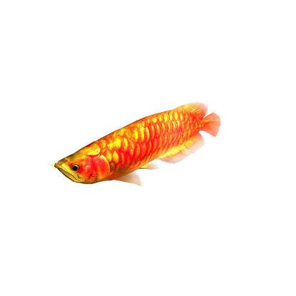 Rigged Animated Arowana Red Swimming Fish 3D Model