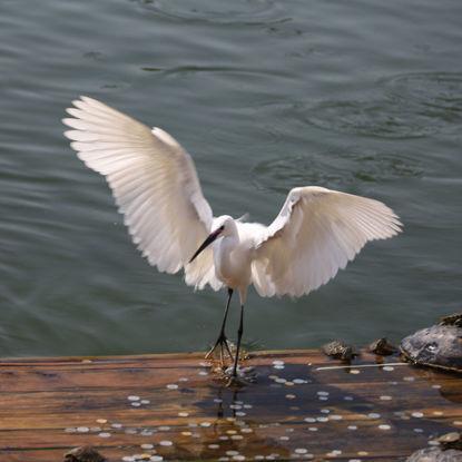 Egret bird animal protection photo