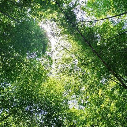 Photographie Photo Forêt de Bambou-Soleil