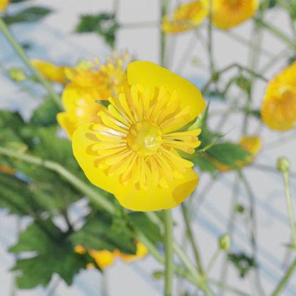 Creeping Buttercup Flower Pack 3D Model